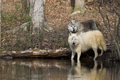 Alpha Wolves Stock Photography