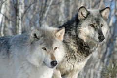 Alpha Wolves. Something caught the attention of these male & female alpha wolves stock photo