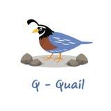 Alphabet animal d'isolement pour les enfants, Q pour des cailles Photos libres de droits