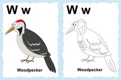 Alphabet coloring book page with outline clip art to color. Letter W. Woodpecker royalty free illustration