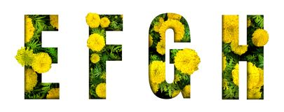 Alphabet E, F, G, H made from marigold flower font isolated on white background. Beautiful character concept. Font stock images