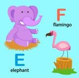 Alphabet Letter E-elephant,F-flamingo. Illustration Isolated Alphabet Letter E-elephant,F-flamingo vector Royalty Free Stock Image