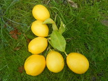 Alphabet Letter L Lemons in Grass Stock Photo
