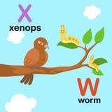Alphabet Letter W-worm,X-xenops,illustration Stock Image