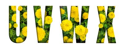 Alphabet U, V, W, X made from marigold flower font isolated on white background. Beautiful character concept. Font royalty free stock photography