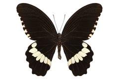 Alphenor dei polytes di papilio di specie della farfalla Fotografia Stock