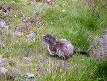 Alphine marmot Royalty Free Stock Image