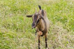 Alphine-Ziege mit Zungen-Vorrat heraus stockbilder