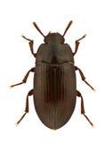 Alphitobius diaperinus Stock Image