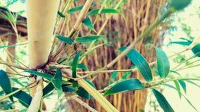 Alphonse Karr Clumping Bamboo stock foto