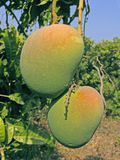 Alphonso mangoes Royalty Free Stock Photography
