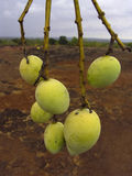 Alphonso mangoes. Mangifera indica L, Anacardiaceae are hanging on a tree Royalty Free Stock Image