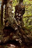Alpi Apuane, Massa Καρράρα, Τοσκάνη, Ιταλία Μεγάλο δέντρο κάστανων στοκ φωτογραφίες με δικαίωμα ελεύθερης χρήσης