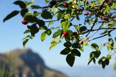 Alpi Apuane, Massa Carrara, Tosc?nia, It?lia Planta de Rosa com vermelho fotos de stock royalty free