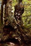 Alpi Apuane, Massa Carrare, Toscane, Italie Grand arbre de ch?taigne photos libres de droits