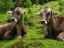 Alpi con le mucche Fotografia Stock