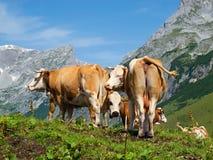 Alpi con le mucche Fotografie Stock Libere da Diritti