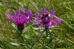 Alpi dei Wildflowers con il bombo Fotografia Stock Libera da Diritti