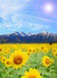 Alpi del giacimento del girasole Fotografie Stock Libere da Diritti