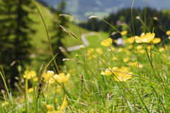 Alpi della Baviera dei ranuncoli Fotografia Stock