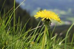 Alpi della Baviera di Breitenstein del dente di leone Fotografia Stock