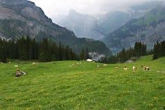 Alpi e mucche - Svizzera Immagini Stock