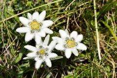 Alpi, Grossglockner, edelweiss Fotografie Stock