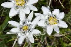 Alpi, Grossglockner, edelweiss Fotografia Stock Libera da Diritti
