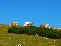 Alpi superiori dell'Austria, mucche alla cima della collina Immagini Stock Libere da Diritti