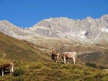 Alpi svizzere, mucca sul Mountain View Immagini Stock