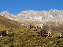Alpi svizzere, mucca sul Mountain View Fotografia Stock