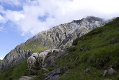 Alpi Tirolo Austria dell'azionamento del bestiame delle pecore Immagine Stock Libera da Diritti