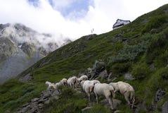 Alpi Tirolo Austria dell'azionamento del bestiame delle pecore Fotografia Stock Libera da Diritti