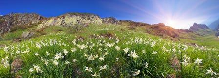 Alpi ucraine dei narcisi - Marmarosh Fotografia Stock