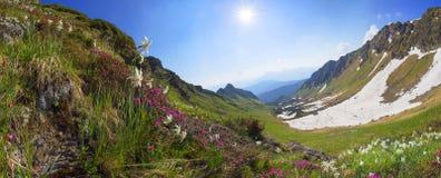 Alpi ucraine dei narcisi - Marmarosh Fotografia Stock Libera da Diritti