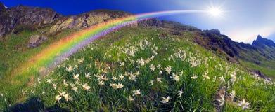 Alpi ucraine dei narcisi - Marmarosh Immagine Stock Libera da Diritti