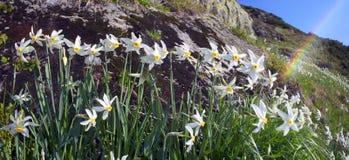 Alpi ucraine dei narcisi - Marmarosh Fotografie Stock Libere da Diritti