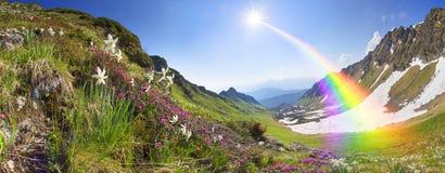 Alpi ucraine dei narcisi - Marmarosh Immagini Stock