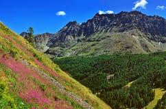 Alpien berg med violetta blommor Arkivfoto