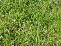 Alpien gras Royalty-vrije Stock Afbeeldingen