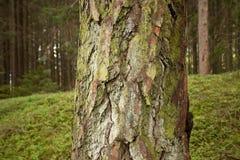 Alpien kreupelhout: nadruk op pijnboomschors Stock Foto's