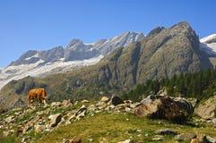 Alpien landschap met koe stock afbeelding