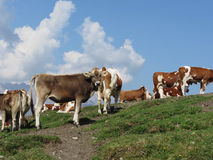 Alpien weiland met koeien in voorgrond en de blauwe hemel op achtergrond Sesto Dolomites, Zuid-Tirol, Italië Stock Afbeelding
