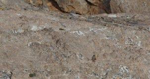 Alpiene accentor die op rand lopen stock video
