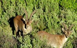 Alpiene berggeiten, Alpiene steenbok, in de wilde aard op groen gras Royalty-vrije Stock Foto