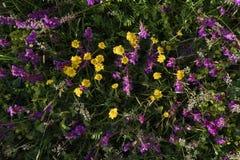 Alpiene Bloemen Royalty-vrije Stock Foto's