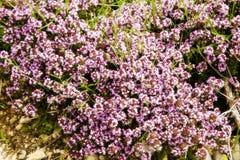 Alpiene Bloemen Royalty-vrije Stock Fotografie