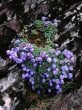 Alpiene bloemenDe gletsjer van GongGa Stock Foto's
