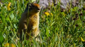 Alpiene die marmota van marmotmarmota is species van marmot op bergachtig gebied van centraal en zuidelijk Europa wordt gevonden stock foto's
