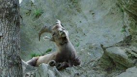 Alpiene fauna Jonge steenbok stock footage